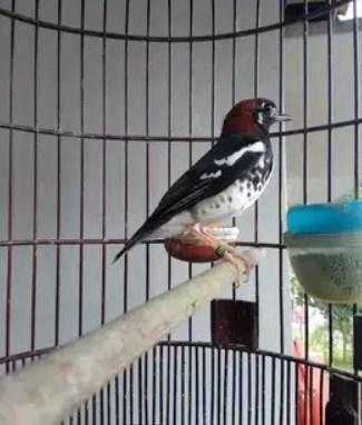 burung-anis