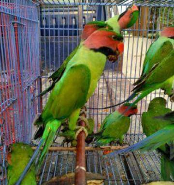 gambar-burung-betet