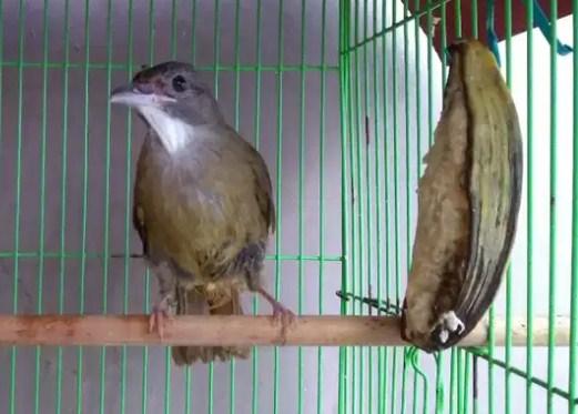 gambar-burung-cucak-jenggot