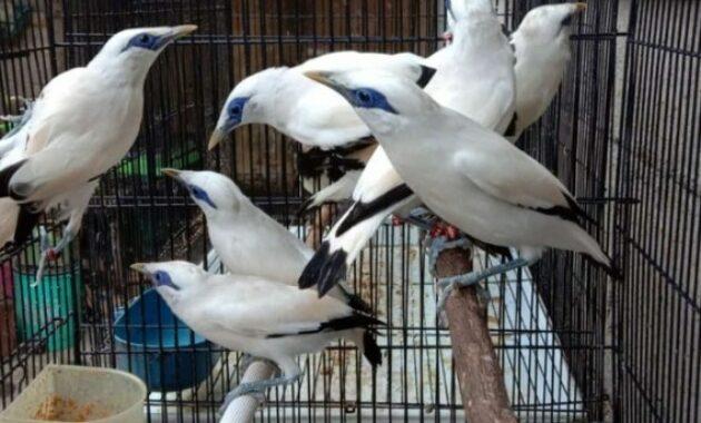 gambar-burung-jalak-bali