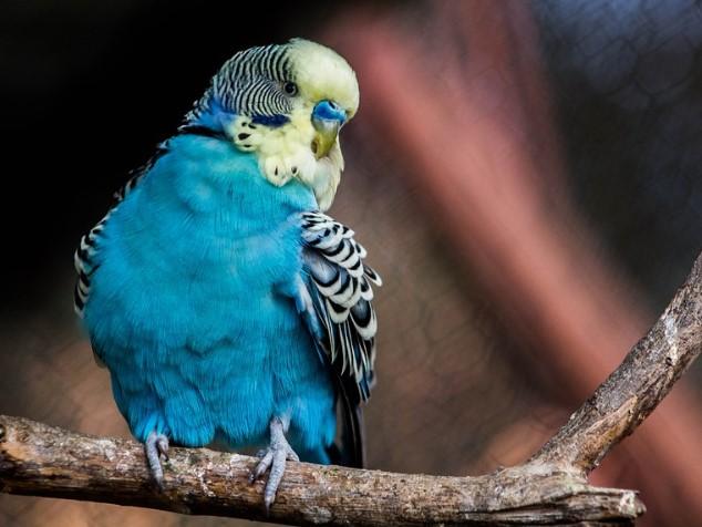 Carolina-parakeet