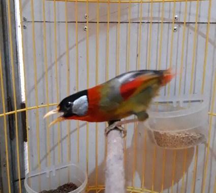 burung-pancawarna