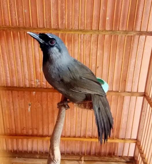 burung-poksay-hitam