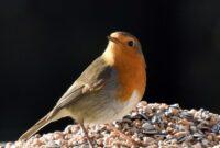 burung-robin