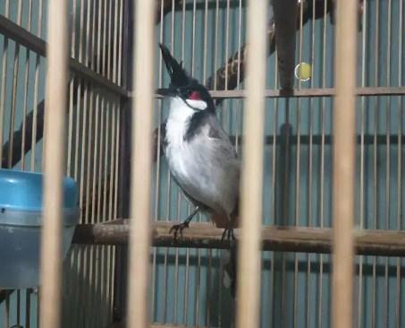 gambar-burung-cucak-thailand