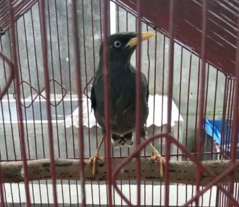 gambar-burung-jalak-hitam