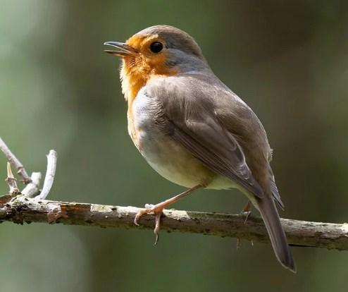 gambar-burung-robin