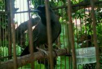 poksay-hitam