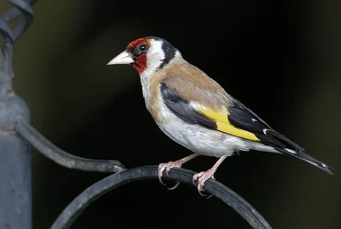 Goldfinch Eropa