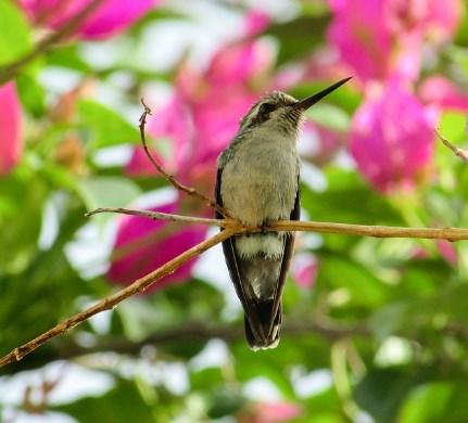 kolibri-hutan