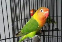 lovebird-ijo-standar