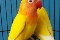 lovebird-lutino