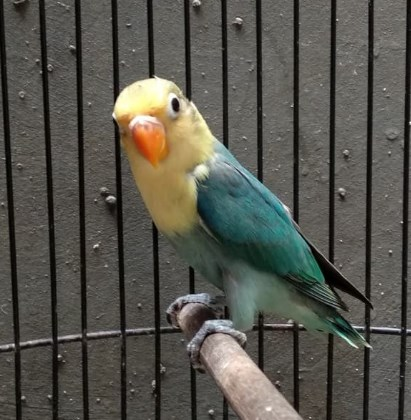lovebird-parblue