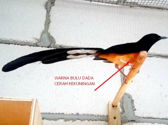 bulu-dada