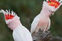 cara-merawat-burung-kakatua