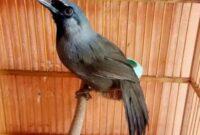 cara-merawat-burung-poksay