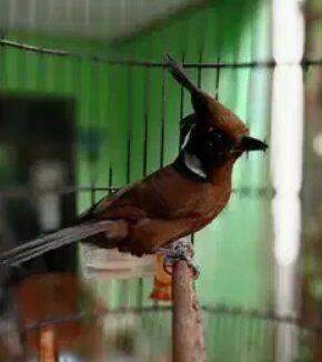 gambar-burung-cililin-gacor