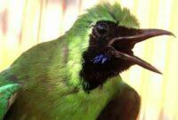 perawatan-burung-cucak ijo