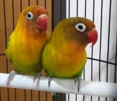 perawatan-harian-lovebird