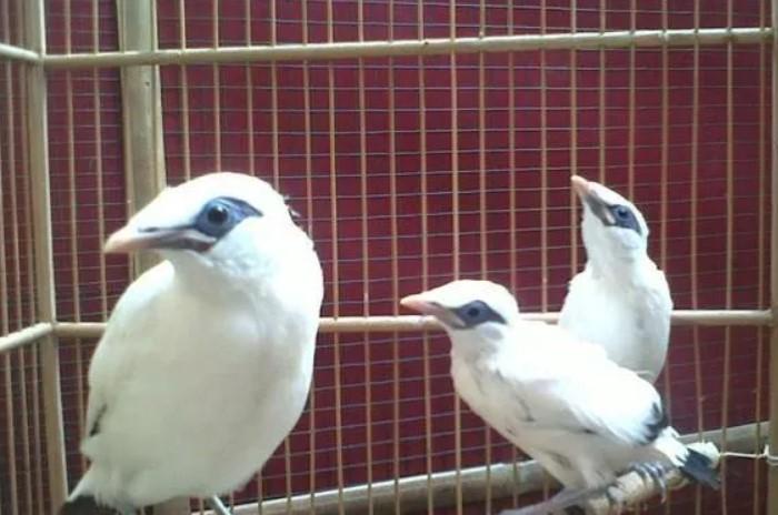 burung-jalak-bali-bahan-muda