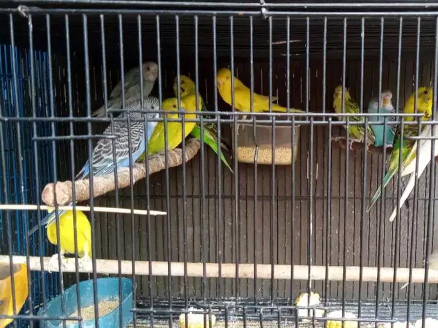 burung-parkit-bahan-ombyokan