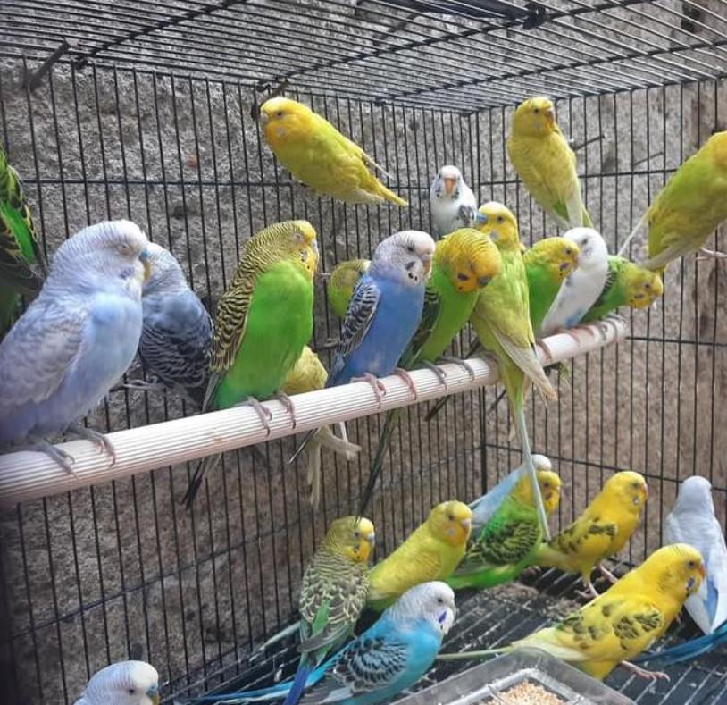 gambar-burung-parkit-lokal