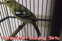 perawatan-burung-sirtu
