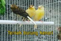 ternak-burung-kenari