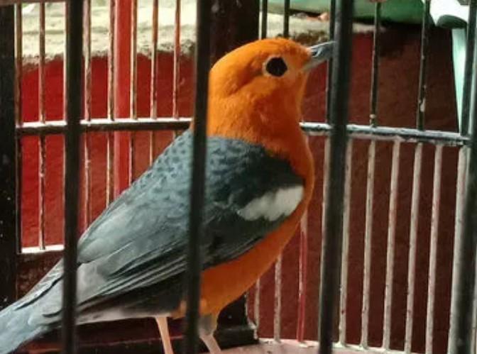 burung-anis-merah-punglor