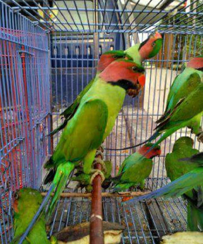 burung-betet-besar