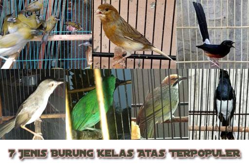 burung-kelas-atas