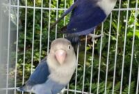lovebird-violet