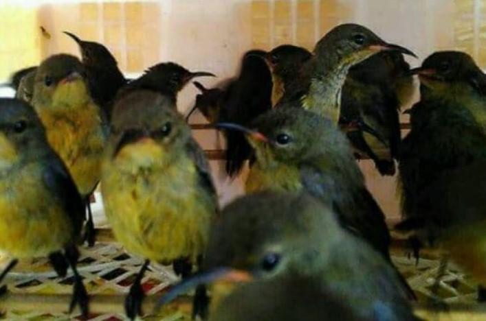suara-kolibri-betina