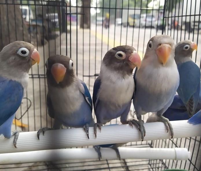 trik-memaster-burung-lovebird