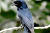 burung-srigunting