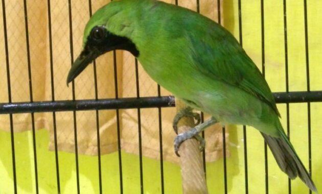 cucak-ijo-sumatra