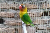 harga-burung-lovebird