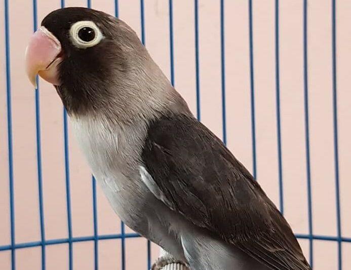 keunggulan-lovebird-batman