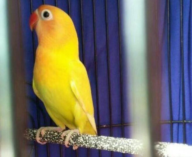 lovebird-paskun-bersih