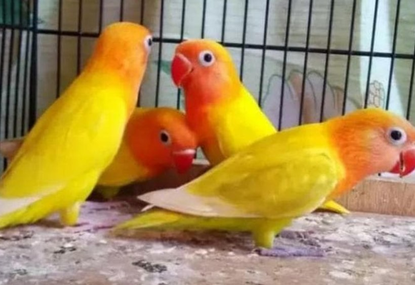 lovebird-pastel-kuning