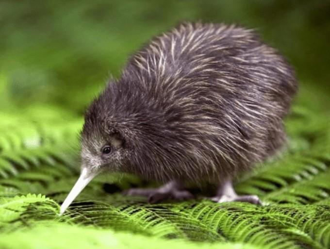 burung-kiwi