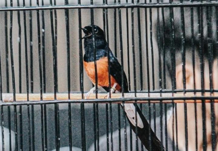 burung-murai-jawara