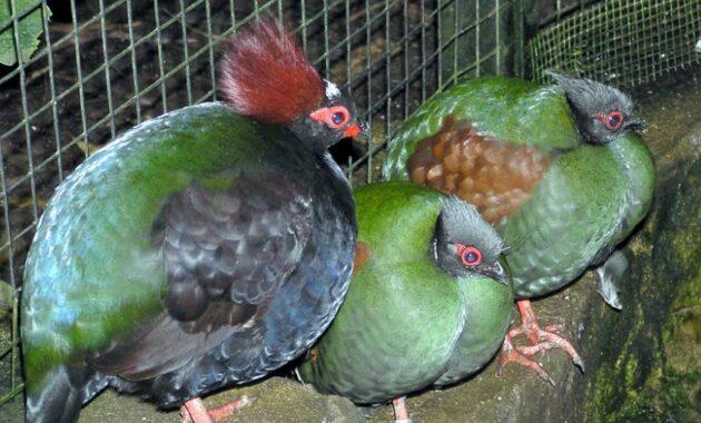 burung-puyuh-mahkota