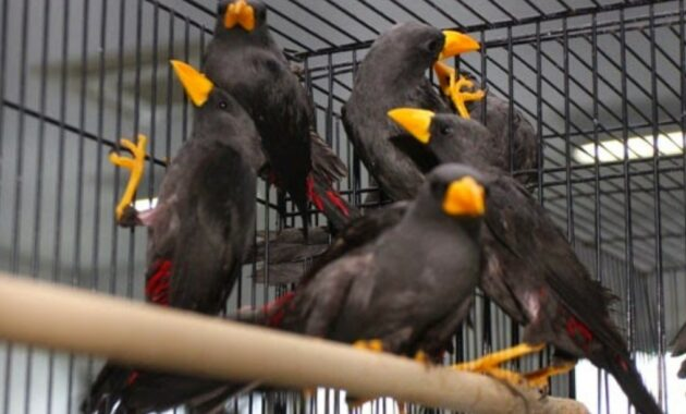 burung-rio-rio-ombyokan