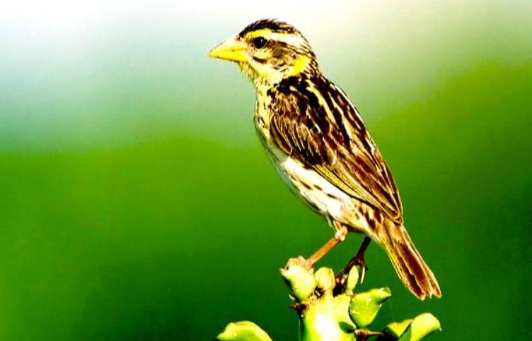cara-merawat-burung-manyar