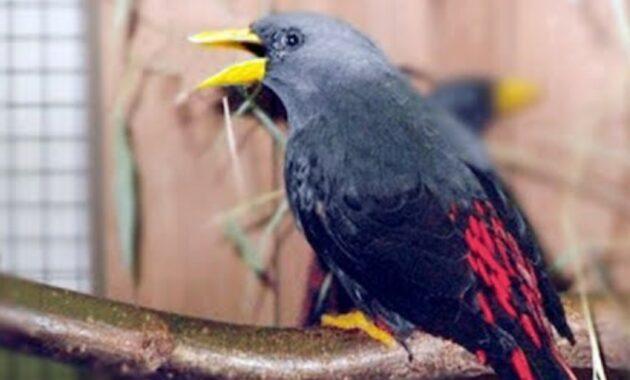 habitat-burung-jalak-rio-rio