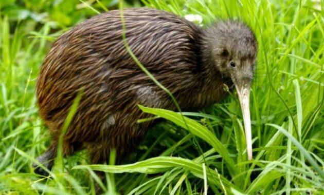 habitat-burung-kiwi