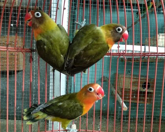 harga-lovebird-olive