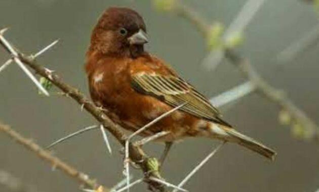burung-gereja-chestnut
