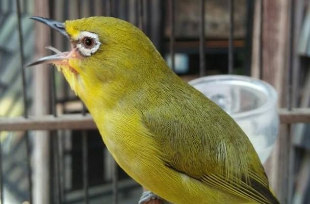 perawatan-burung-pleci